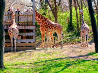 뉴욕 브롱크스 동물원 - 기린