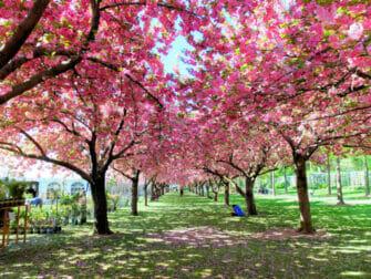 뉴욕의 식물원 - 벚꽃